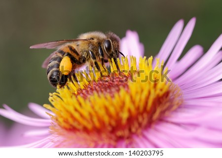 One bee on the flower. - stock photo
