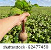 One beetroot in a hand above the field of red root. - stock photo