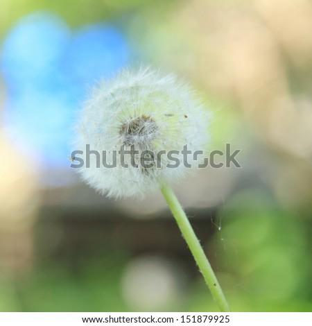 One big dandelion  - stock photo