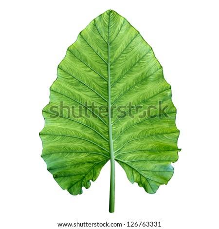 One big green tropical leaf - Giant Upright Elephant Ear, Night-scented Lily (Alocasia Odora) - stock photo