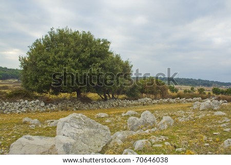 One big olive tree on green field with cloudy sky - stock photo