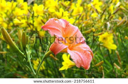 One big pink lily and yellow lilies are background - stock photo