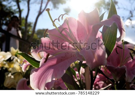 one big pink lily in Thailand