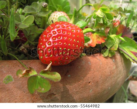 One big strawberry on her plant