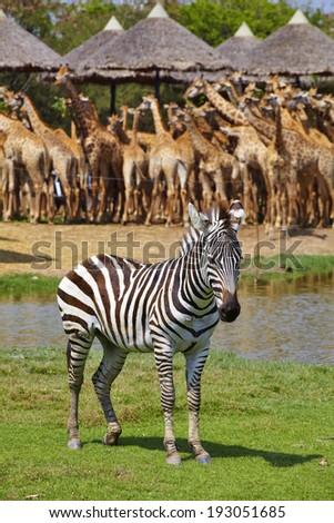 one big zebra in thai zoo - stock photo