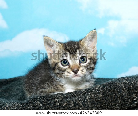 one black and white tabby kitten crouched down on a textured gray pad blue background with white clouds. Looking straight ahead - stock photo