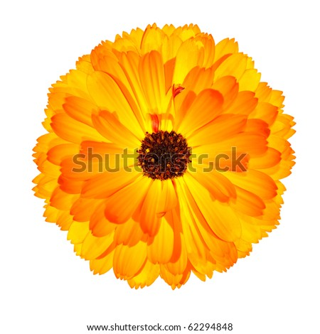 One Blossoming Orange Pot Marigold Flower - Beautiful Calendula officinalis Isolated on White Background. Top view - stock photo