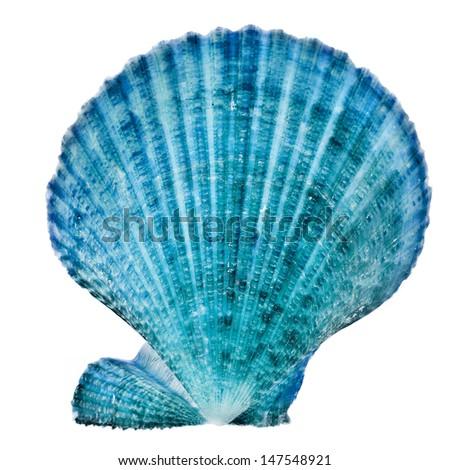 One Blue Seashell Close up isolated on white background  - stock photo