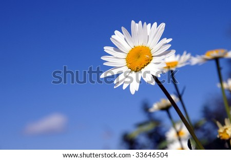 One bright daisy or camomile on a blue sky background in a sunny summer day, stretching their petals out to the sun - stock photo