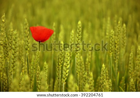 One bright red poppy among the wheat ears, wheat field - stock photo