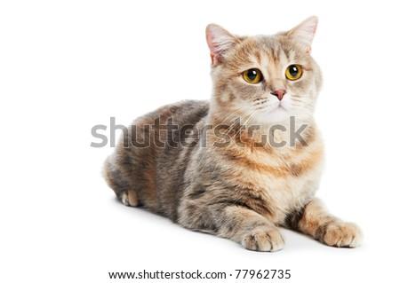 One british shorthair brown cream cat isolated - stock photo