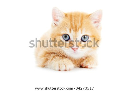 One british shorthair red kitten cat isolated - stock photo