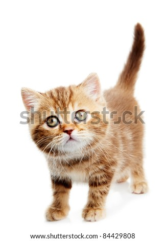 One british shorthair red kitten cat isolated - stock photo