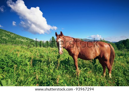 One brown horse grazing on mountain fields