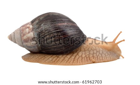 One brown snail isolated on white background