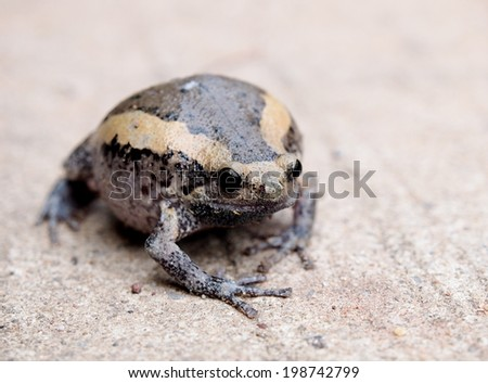 one brown with yellow stripes smooth skin wild asian bullfrog sitting on the home outdoor concrete floor looking at camera - stock photo