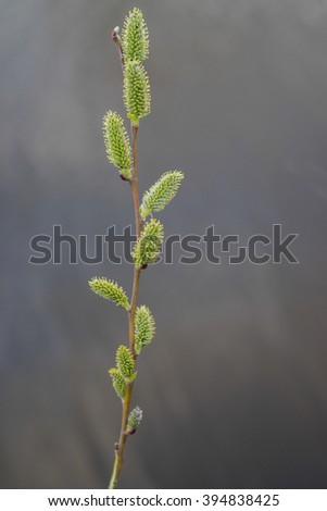 One brunches with Pussy Willow Catkins, Branch with Bud and water background,Willow Salix, 1, Willow by the lake, dark water in the background of the blooming willow tree, tree spring - stock photo