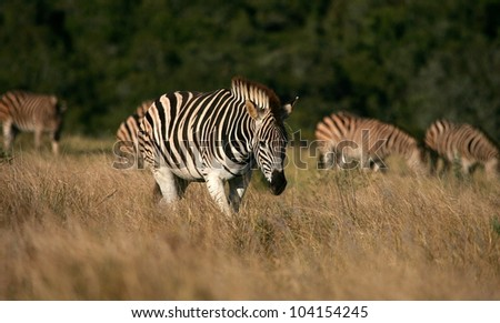 One burchells zebra leads the herd / dazzle of Zebra through an open grass field.Taken while on safari in Addo elephant national park,eastern cape,south africa - stock photo