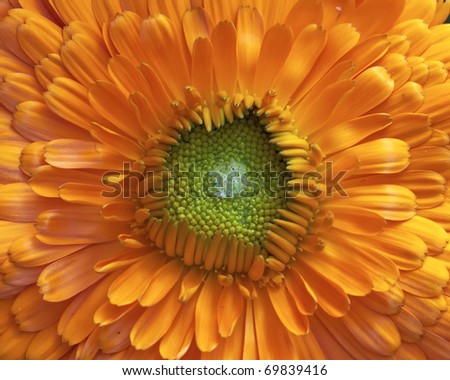 one calendula flower, natural background - stock photo