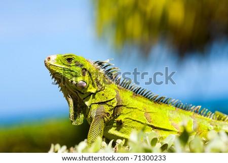 One calm Iguana portrait over tree and sky background - stock photo