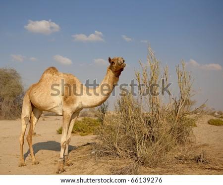 One camel in the desert - stock photo