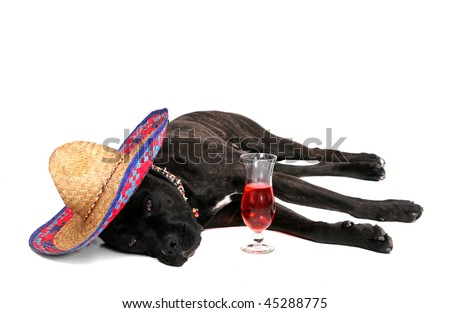 one celebrating party loving large black mastiff  drinking too much over white - stock photo