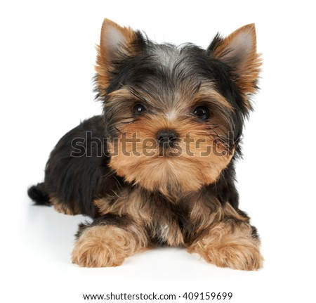 One charming puppy of the Yorkshire Terrier on white - stock photo
