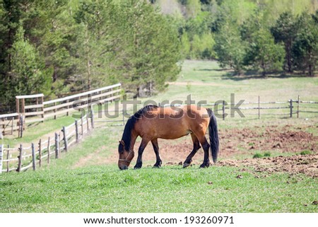 One chestnut horse grazing in rural paddock
