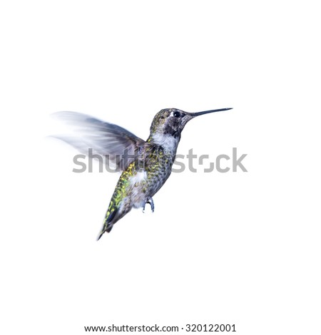 One colorful hovering hummingbird isolated on white - stock photo