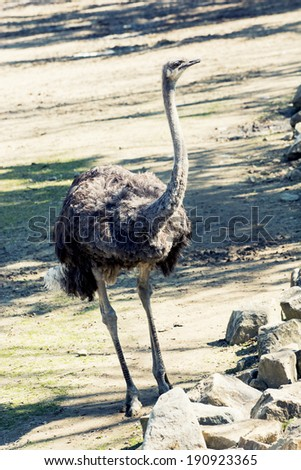 One Common ostrich (Struthio camelus).