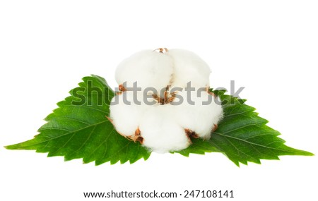 One cotton plant bud with green leaves isolated  over white background - stock photo