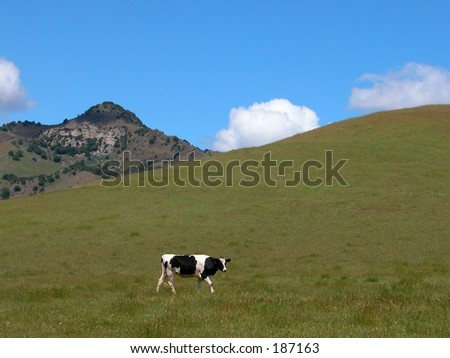 one cow & hills