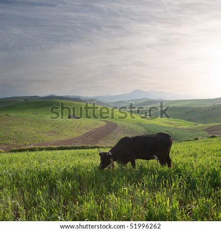 one cow is grazing in a cereal field at the sunset - stock photo