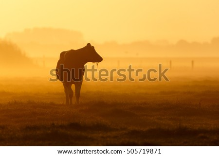 one cow on a foggy morning