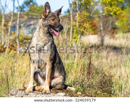 One cute german shepherd dog looking into the distance to the right - stock photo
