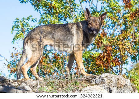 One cute grey german shepherd dog standing on a rock looking into the camera - stock photo
