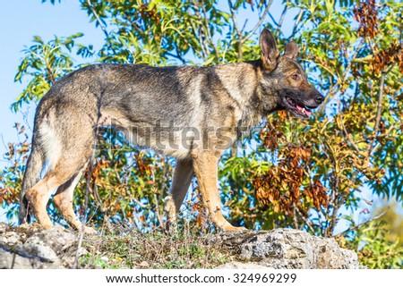 One cute grey german shepherd dog standing on a rock profile shot - stock photo