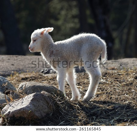 One cute lamb walking in the meadow a sunny day in march - stock photo