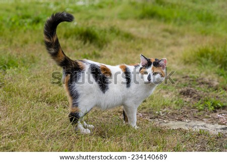 One cute mixed-breed cat standing on grass with its raised tail. Outdoors portrait of domestic cat in color image - stock photo