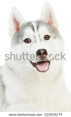 one cute of Siberian husky dog isolated