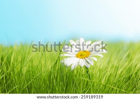 One daisy on green grass feild under blue sky - stock photo