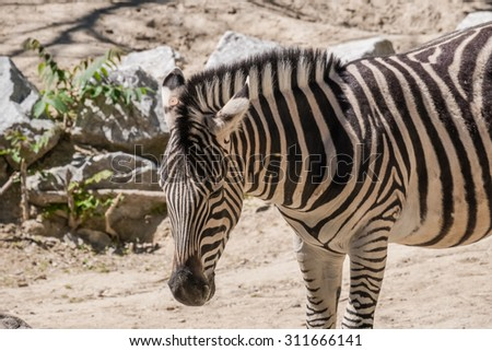 one Damara zebra standing in the sun for food