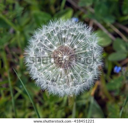 One dandelion on green meadow - stock photo