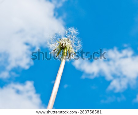 One dandelion without some seeds against blue sky with white clouds - stock photo