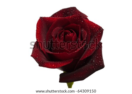 One dark red rose with droplets isolated on white background - stock photo