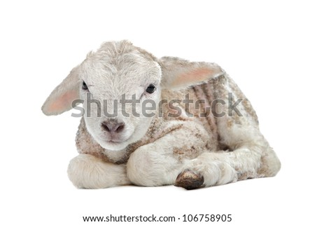 one day old Lamb in front of a white background - stock photo
