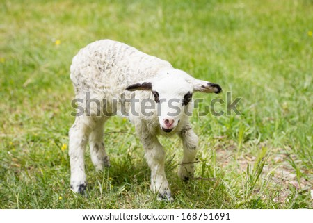 one day old lamb in green grass