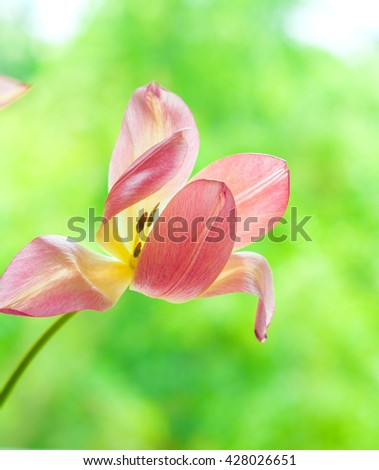 One delicate blown bright yellow and pink tulip on blurred green tree background - stock photo