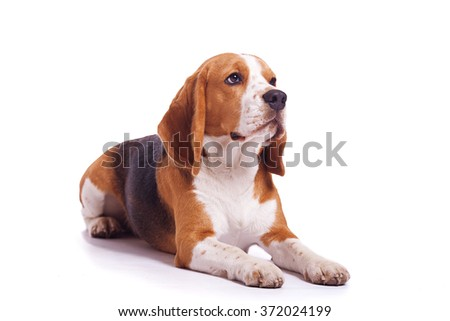 One dog of tricolor beagle breed lying on white isolated background.