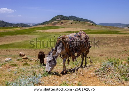 one donkey in the mountains of Morocco - stock photo